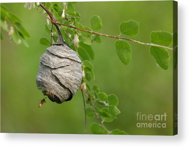 Wasp Acrylic Print featuring the photograph Wasp by Dennis Hammer