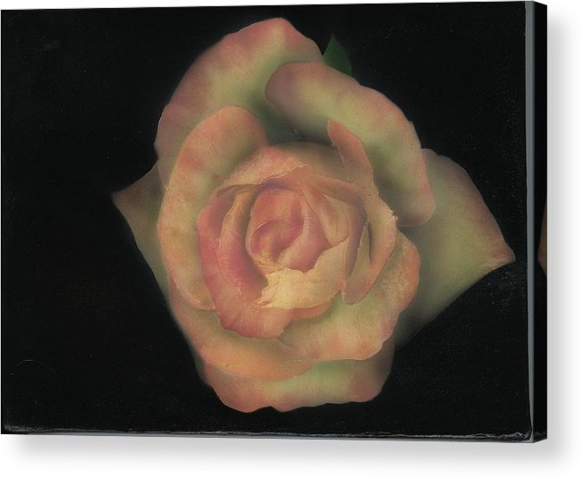 Rose Acrylic Print featuring the painting Yello Rose by Charles Parks