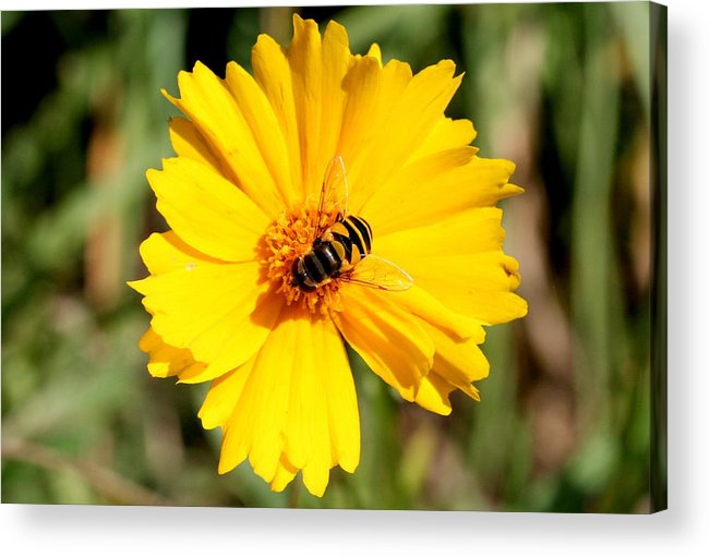 Bee Acrylic Print featuring the photograph Yellow on Yellow by Jason Hochman