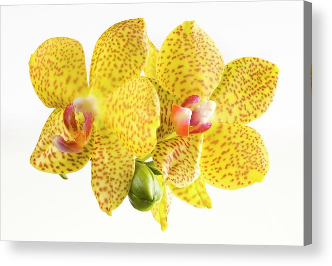 Thank You Acrylic Print featuring the photograph Beautiful Yellow Orchid On White by Digihelion