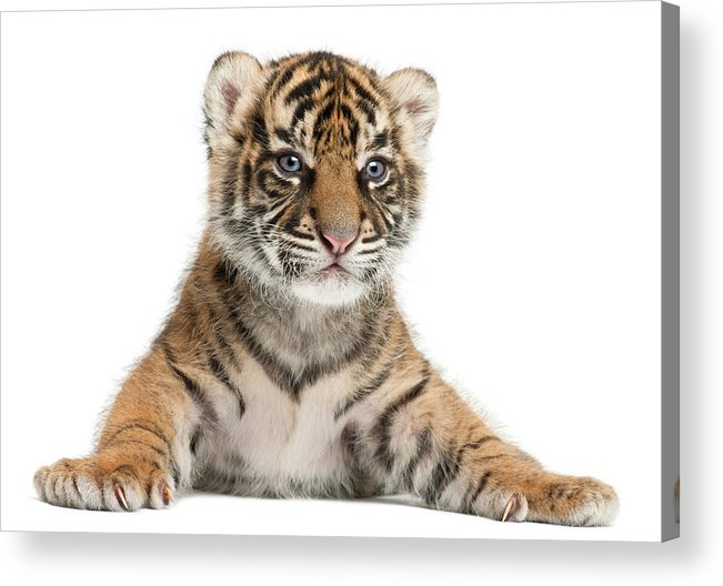 White Background Acrylic Print featuring the photograph Sumatran Tiger Cub - Panthera Tigris by Life On White