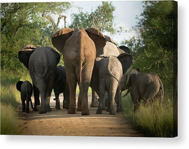 Cow Acrylic Print featuring the photograph A Herd Of Elephants Heading Away From Us by Jono0001