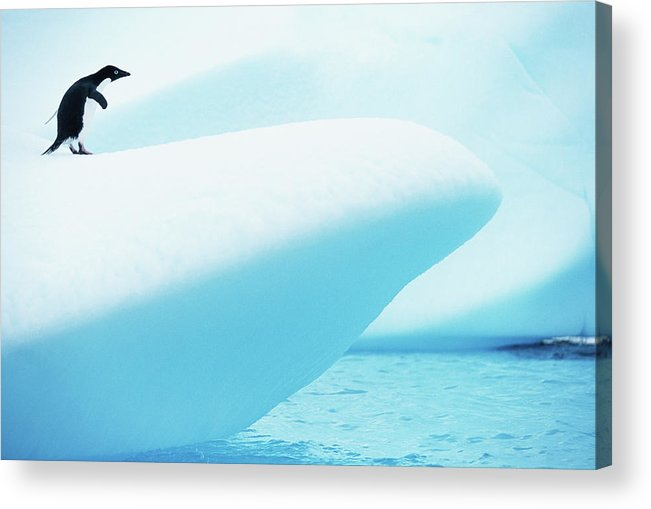 The End Acrylic Print featuring the photograph Adelie Penguin Pygoscelis Adeliae by Paul Souders