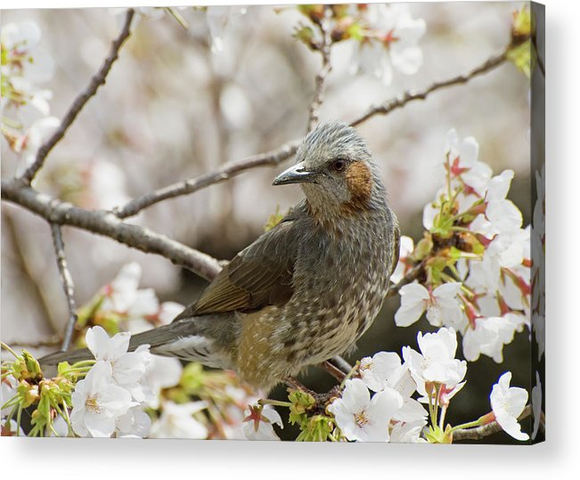 Alertness Acrylic Print featuring the photograph Bird Perched Among Cherry Blossoms by Philippe Widling / Design Pics