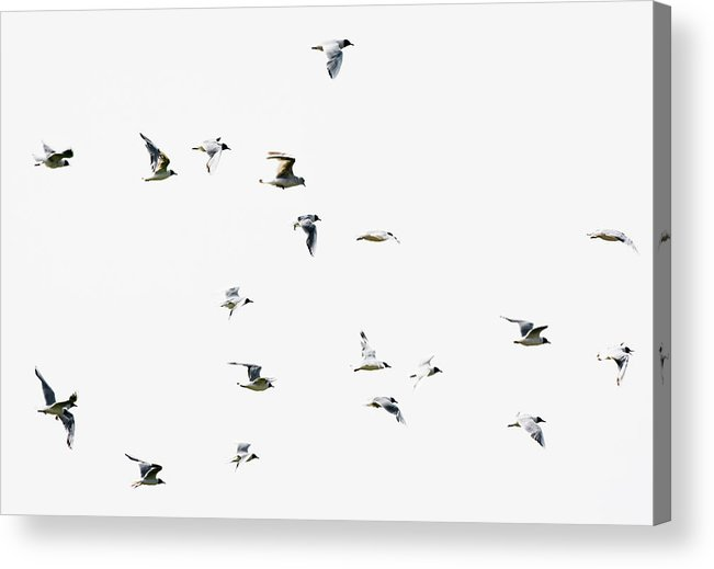 England Acrylic Print featuring the photograph Birds In Flight by Magnusson, Roine