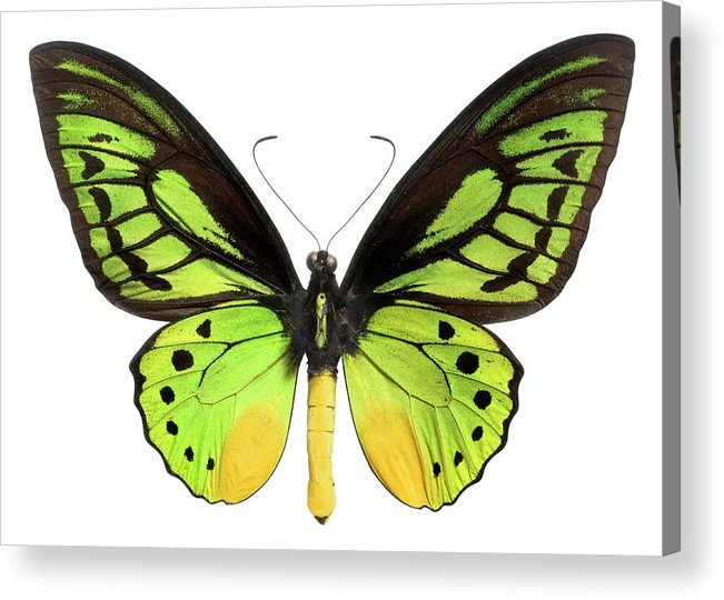 White Background Acrylic Print featuring the photograph Butterfly Lepidoptera With Green, Black by Flamingpumpkin