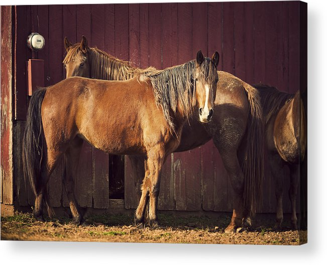 Horse Acrylic Print featuring the photograph Chestnut Horses by Thepalmer
