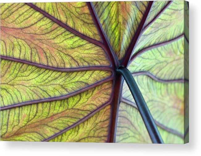 Voodoo Doll Acrylic Print featuring the photograph Close Up Of Colocasia Esculenta Leaf by Deb Casso