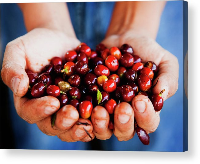 Mature Adult Acrylic Print featuring the photograph Close Up Of Hands Holding Coffee Beans by Pixelchrome Inc