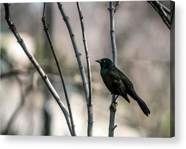 Animal Themes Acrylic Print featuring the photograph Common Grackle by By Ken Ilio