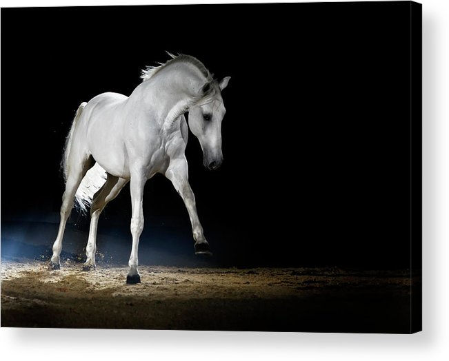 Horse Acrylic Print featuring the photograph Lipizzaner Horse Playing by Somogyvari