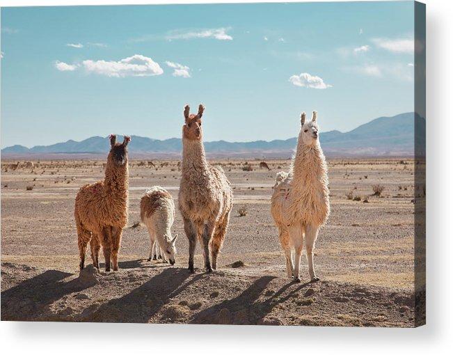 Shadow Acrylic Print featuring the photograph Llamas Posing In High Desert by Kathrin Ziegler