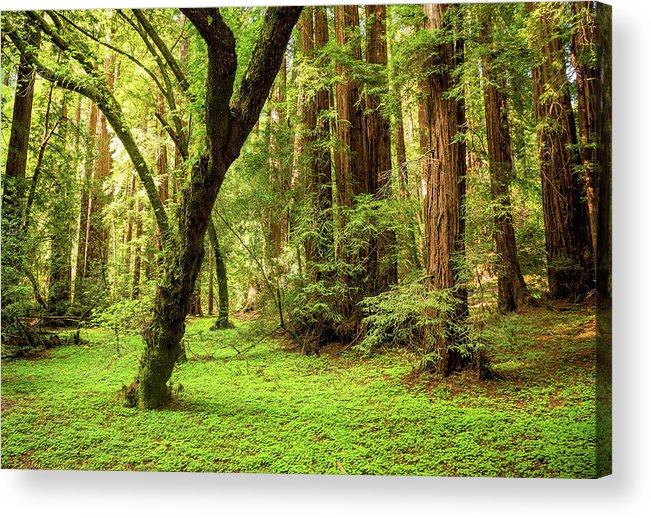 Tranquility Acrylic Print featuring the photograph Muir Woods Forest by By Ryan Fernandez