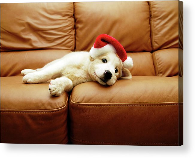 Pets Acrylic Print featuring the photograph Puppy Wears A Christmas Hat, Lounges On by Karina Santos