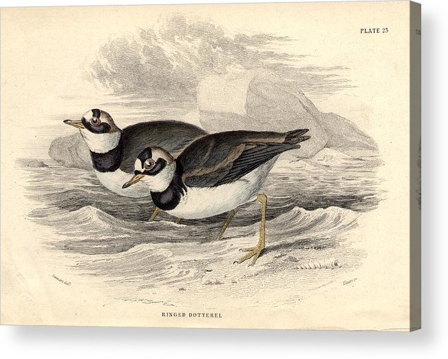 Horizontal Acrylic Print featuring the digital art Ringed Dotterel by Hulton Archive