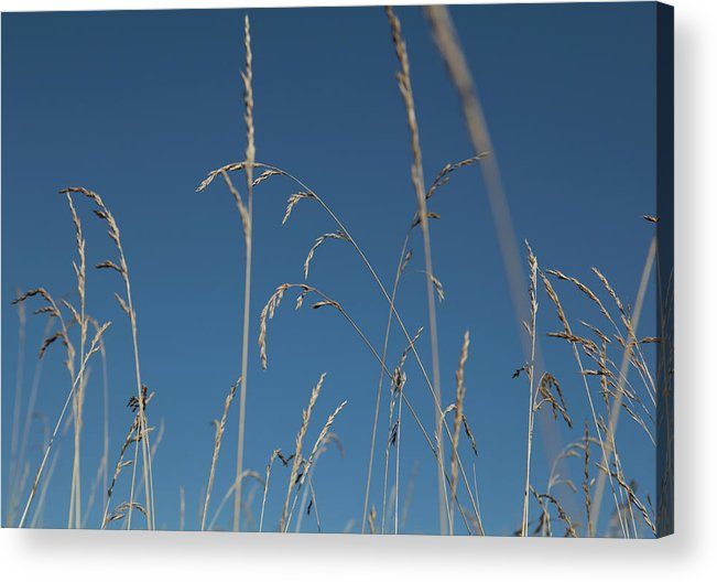 Tranquility Acrylic Print featuring the photograph Tall Grasses Swaying Against A Blue Sky by Lauren Krohn
