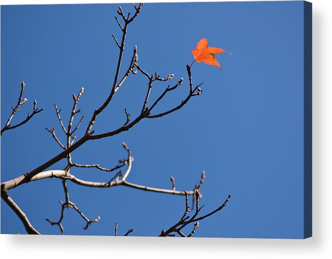 Clear Sky Acrylic Print featuring the photograph The Last Leaf During Fall by By Ken Ilio