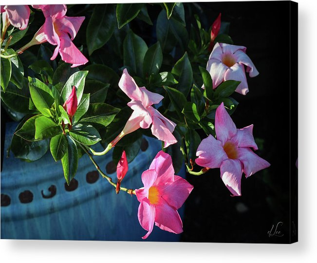 Flower Acrylic Print featuring the photograph A Pink Trumpet of Light by D Lee