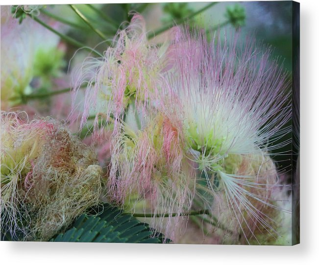 Pink Acrylic Print featuring the photograph Nature's Pink Fireworks by D Lee