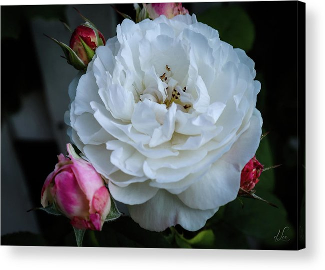 Rose Acrylic Print featuring the photograph Rose with Bud Maids by D Lee