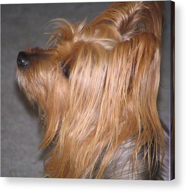 Dogs Acrylic Print featuring the photograph Scruffy by Peggy Holcroft