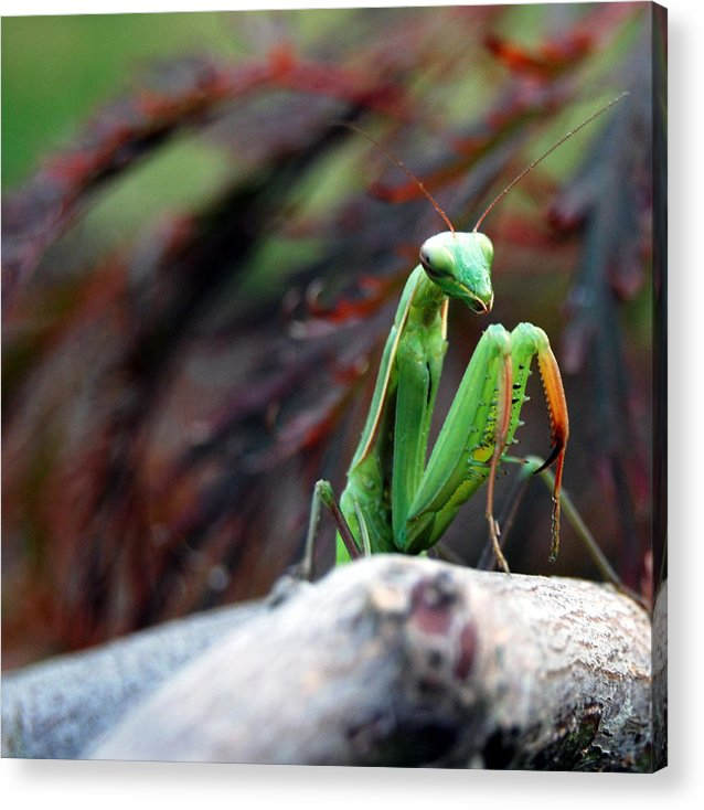 Mantis Acrylic Print featuring the photograph Preying Mantis by Anthony Kougl