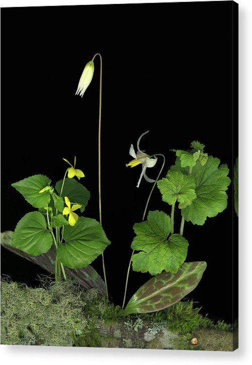Fawn Lily Acrylic Print featuring the digital art Fawn Lily by Sandi F Hutchins