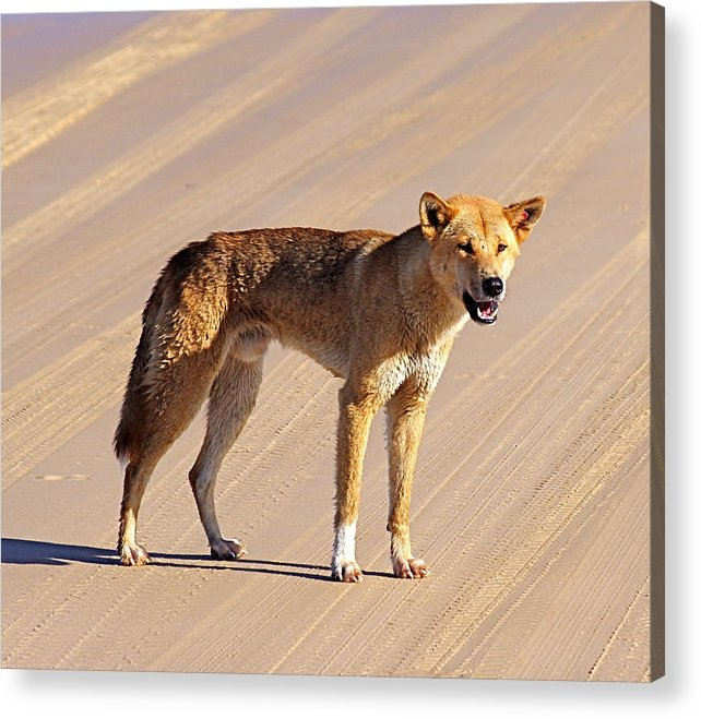 Dingo Acrylic Print featuring the photograph Dingo Fraser Island by Jock Brown
