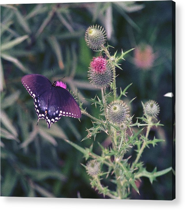 Butterfly Acrylic Print featuring the photograph 060207-13 by Mike Davis