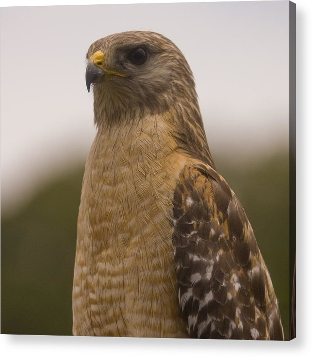 Hawk Acrylic Print featuring the photograph Standing Proud by Anthony Towers