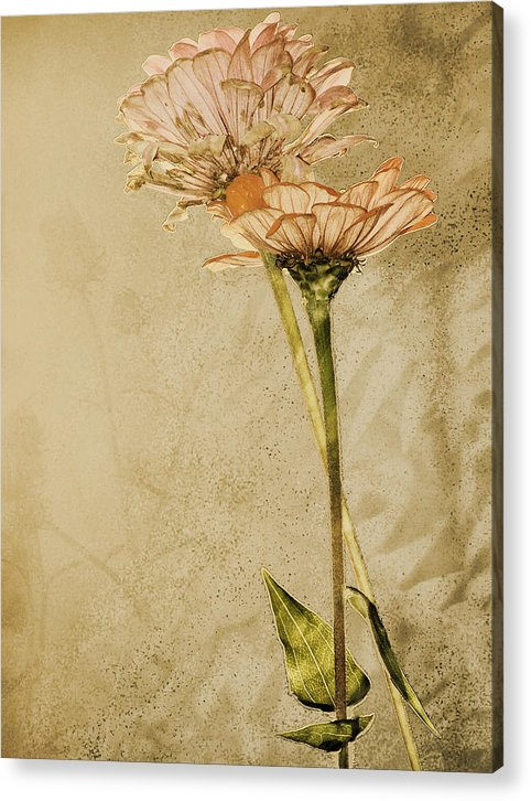 Flower Acrylic Print featuring the photograph Withered by Sally Engdahl
