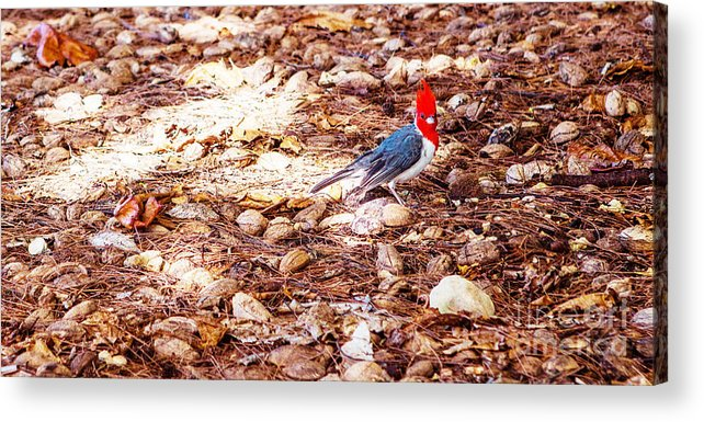 Birds Acrylic Print featuring the photograph Red Head by Roselynne Broussard