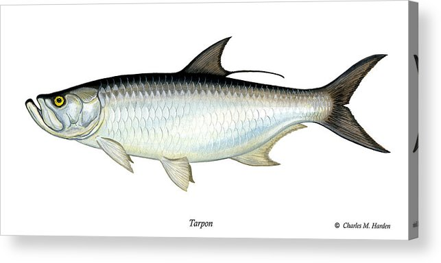 Charles Acrylic Print featuring the painting Tarpon by Charles Harden