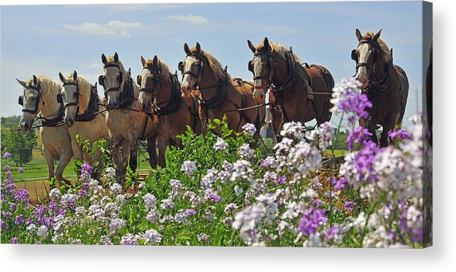 Horses Acrylic Print featuring the photograph Teamwork by Dan Myers