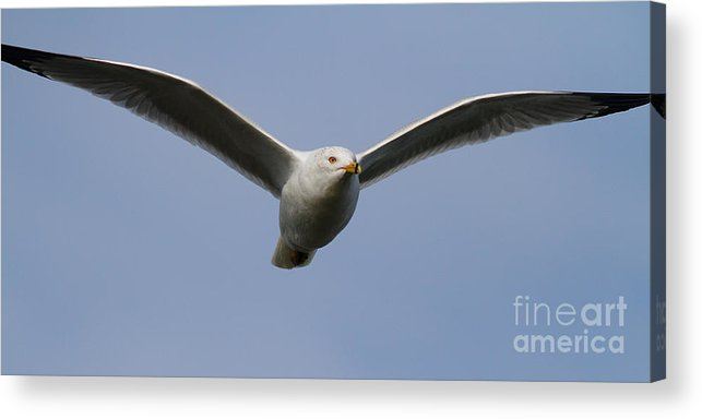 Long Acrylic Print featuring the photograph Gull In Flight . 7d12082 by Wingsdomain Art and Photography
