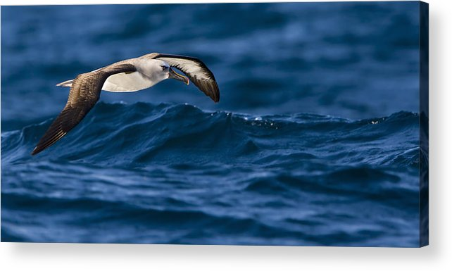 Seabirds Acrylic Print featuring the photograph Albatross Of The Deep Blue by Basie Van Zyl