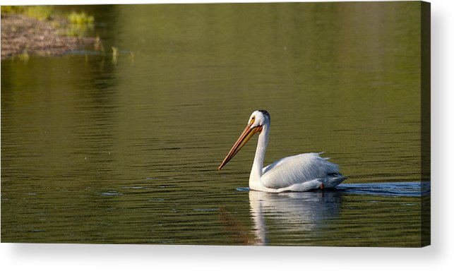 Pelican Acrylic Print featuring the photograph American White Pelican by Chad Davis