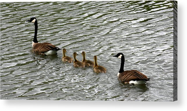 Goose Acrylic Print featuring the photograph Got All Your Ducks In A Row by David Dunham