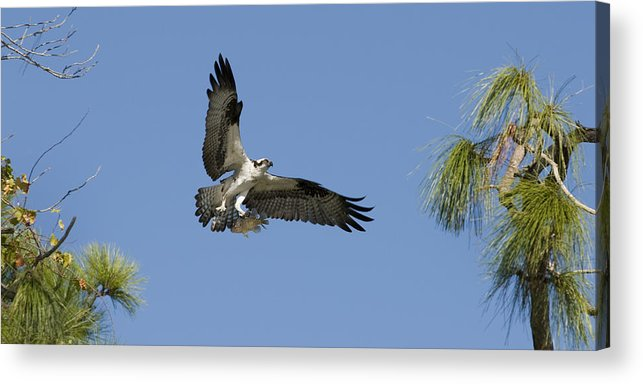 Bird Acrylic Print featuring the photograph Osprey With Fish by Chad Davis