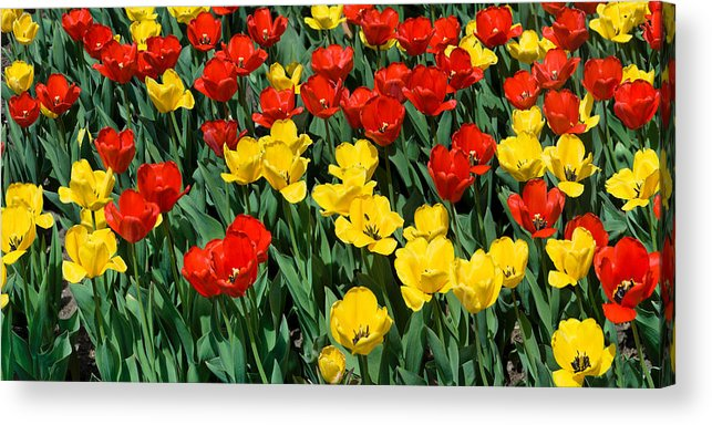 Red Acrylic Print featuring the photograph Red And Yellow Tulips Naperville Illinois by Michael Bessler