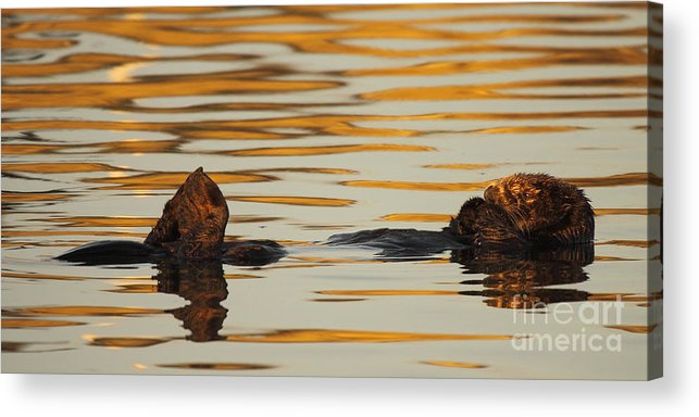 Sea Otter Acrylic Print featuring the photograph Sea Otter Laying Low In The Water by Max Allen