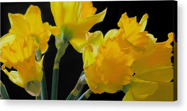 Daffodils Acrylic Print featuring the photograph Spring by Robert Bissett
