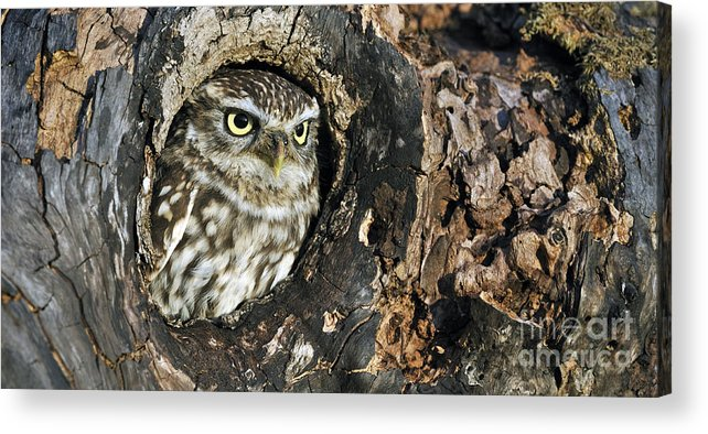 Little Owl Acrylic Print featuring the photograph 100205p258 by Arterra Picture Library