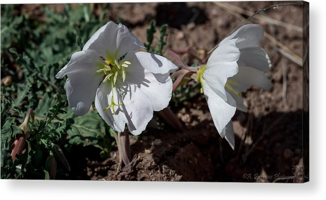 Primulaceae Acrylic Print featuring the photograph Dual Primrose Flowers by Aaron Burrows