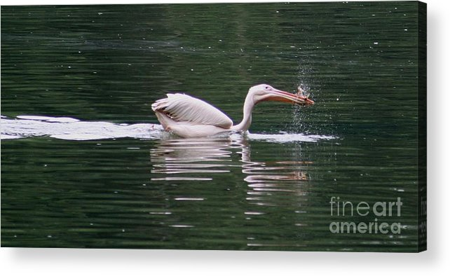 Nature Acrylic Print featuring the photograph Fishing Pelican by Valia Bradshaw