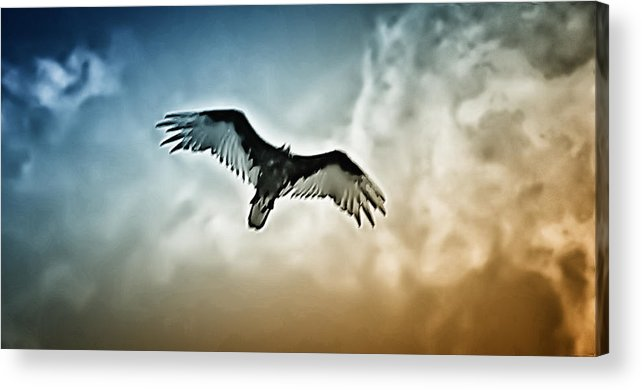 Falcon Acrylic Print featuring the photograph Flying Falcon by Bill Cannon