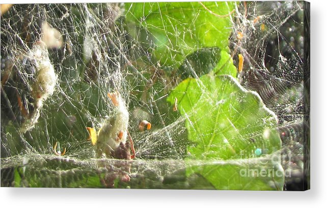 Gossamer Acrylic Print featuring the photograph Cocoons Spider by Bozena Simeth