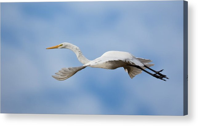 Red Acrylic Print featuring the photograph Egret In Flight by Jack Nevitt