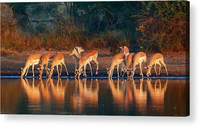 Impala Acrylic Print featuring the photograph Impala Herd With Reflections In Water by Johan Swanepoel