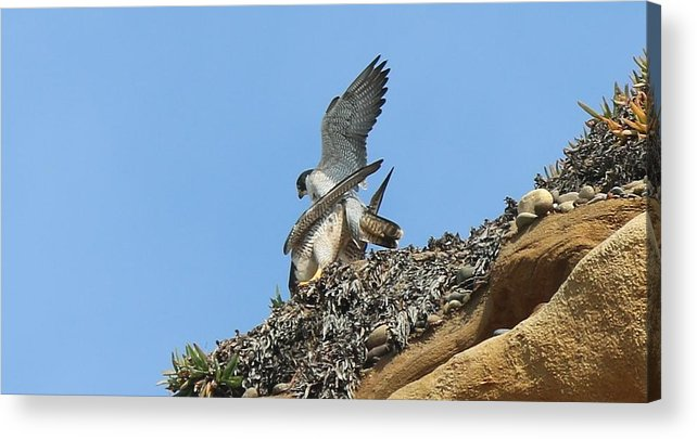 Peregrine Acrylic Print featuring the photograph Peregrine Falcons - 5 by Christy Pooschke